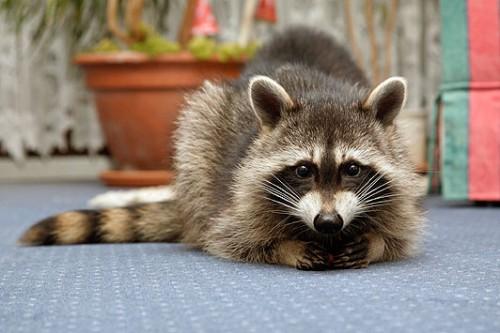 animali selvaggi,cuccioli di procione,notizie animali,notizie commoventi,notizie divertenti,notizie strane,procioni,procioni domestici