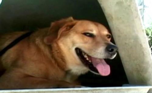 notizie animali, notizie divertenti, notizie strane, notizie commoventi, cani dispersi, cani ritrovati, labrador, incrocio con labrador