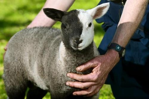 Un agnellino con la testa di due colori è la star di una ...