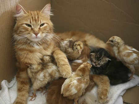 notizie animali, notizie divertenti, notizie strane, notizie commoventi, gatti, pulcini, gatta adotta pulcini