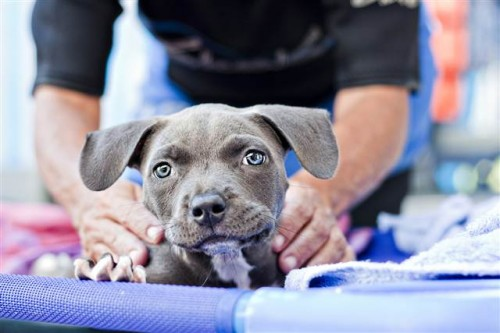 notizie animali, notizie divertenti, notizie strane, notizie commoventi, pittbull, cani deformi, cani riabilitati, sindrome del cucciolo nuotatore