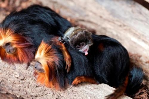 scimmia_mamma-adottiva1.jpg