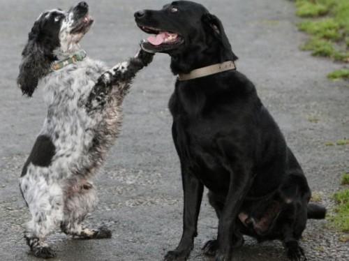 notizie animali, notizie divertenti, notizie strane, notizie commoventi, cocker spaniel, labrador, trasfusioni di sangue da cane a cane