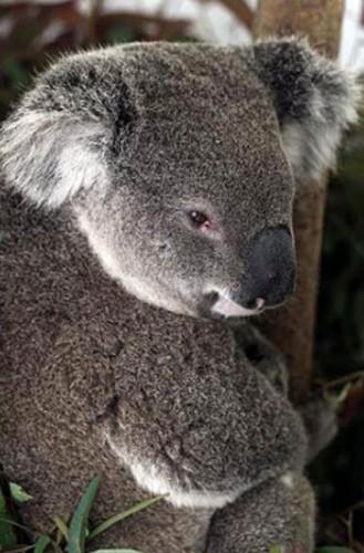 notizie animali, notizie divertenti, notizie strane, notizie commoventi, koala, koala investito, animali investiti, koala intrappolato