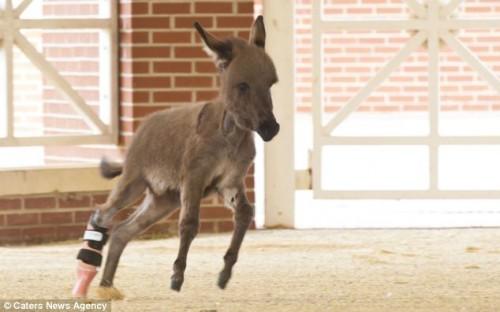 notizie animali, notizie divertenti, notizie strane, notizie commoventi, asini, asini in miniatura, protesi ortopediche per animali, zampe artificiali