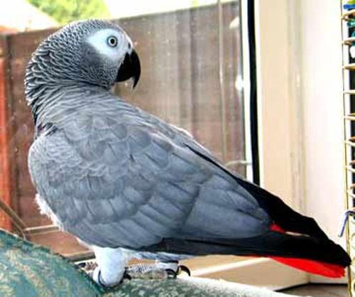 pappagallo_allarme1.jpg