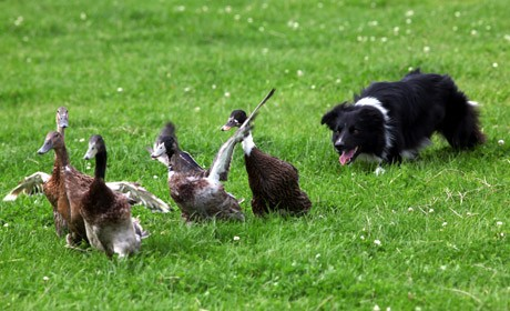 notizie animali, notizie divertenti, notizie strane, notizie commoventi, cani, border collie, cani da pastore, pecore, anatre, papere, competizioni canine