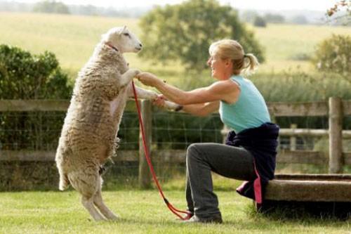 notizie animali, notizie divertenti, notizie strane, notizie commoventi, cani, pecore, springer spaniel