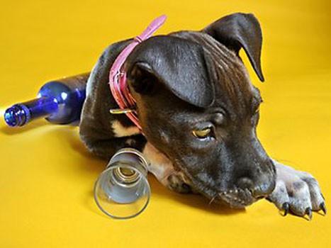 notizie animali,notizie divertenti,antidoto da avvelenamento cani,american staffordshire,cani avvelenati,cani salvati,terapia dell'alcol