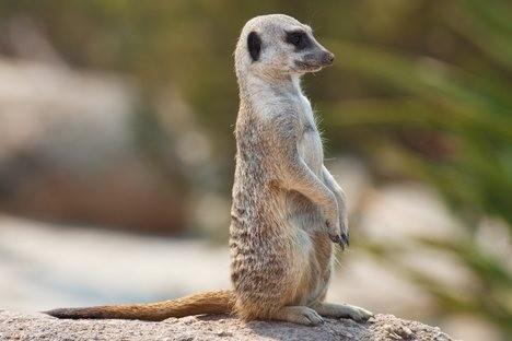 leopardo_meerkat2.jpg