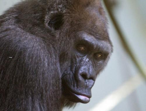 notizie animali, notizie divertenti, notizie strane, notizie commoventi, conigli, gorilla, Erie zoo