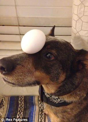notizie animali, notizie divertenti, notizie strane, notizie commoventi, cani, Australian cattle dog, giochi di abilità, cane equilibrista