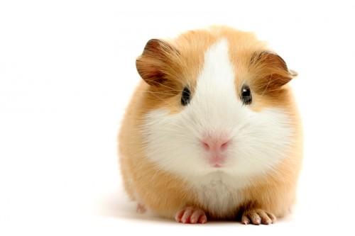 notizie animali, notizie divertenti, notizie strane, notizie commoventi, porcellini d'India, asciugatrice, lenzuola, ciclo di asciugatura