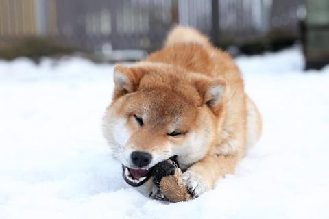 notizie animali, notizie divertenti, notizie strane, notizie commoventi,cani, femmina di Akita, cane salva padrona, pollo