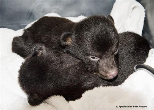 notizie animali, notizie divertenti, notizie strane, notizie commoventi, orsi, cuccioli di orso, cuccioli orfani, orsetti orfani, orsacchiotti
