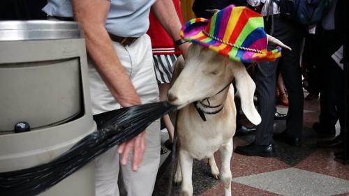 notizie animali, notizie divertenti, notizie strane, notizie commoventi, capre, animali in tribunale