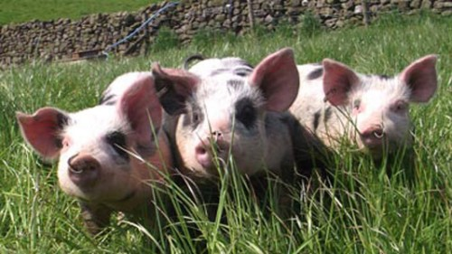 notizie animali, notizie divertenti, notizie strane, notizie commoventi, maiali, porcellini, cuccioli di maiale, crema solare, protezione solare, Pietrain belgi