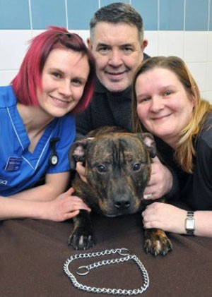 notizie animali, notizie divertenti, notizie strane, notizie commoventi, cani, Staffordshire bull terrier, guinzaglio, catena, operazioni chirurgiche veterinarie
