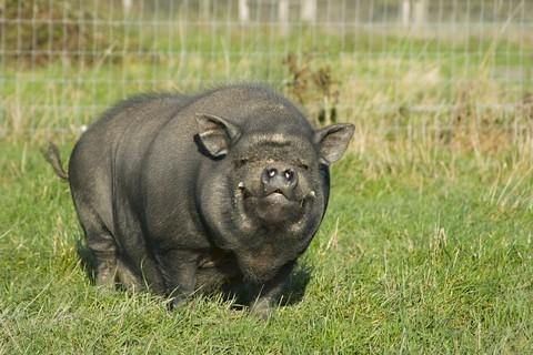 notizie animali, notizie divertenti, notizie strane, notizie commoventi,maiale vietnamita, animali da compagnia, animali domestici, maiali domestici