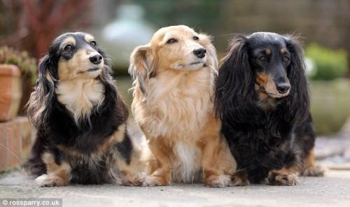 notizie animali, notizie divertenti, notizie strane, notizie commoventi, cani, bassotti, montascale