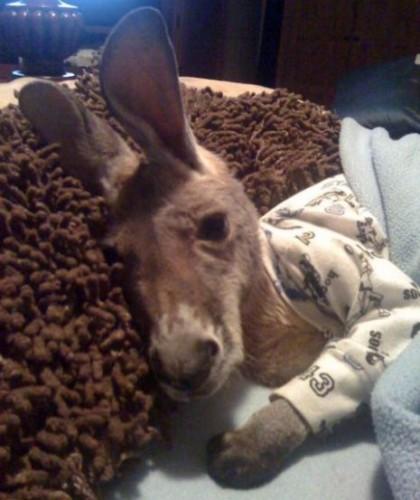 notizie animali, notizie divertenti, notizie strane, notizie commoventi, canguri, canguro paralizzato, pet therapy, canguro therapy