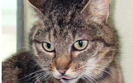 notizie animali, notizie divertenti, notizie strane, notizie commoventi, gatti, disturbo ossessivo-compulsivo dei gatti, sindrome ossessiva-compulsiva dei gatti, disordine di iperattività dei gatti