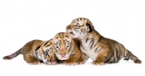 notizie animali,notizie divertenti,notizie strane,notizie commoventi,cagna,pastore svizzero,tigre,cuccioli di tigre,cagna adotta tigrotti
