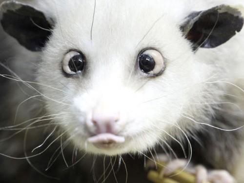 opossum_strabico1.jpg