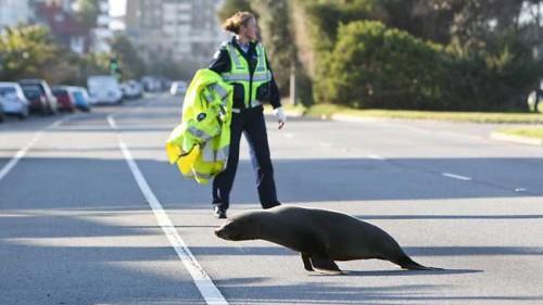 notizie animali, notizie divertenti, notizie strane, notizie commoventi, foche, cuccioli di foca, Wildlife Victoria, Melbourne Zoo, animali marini, mammiferi marini