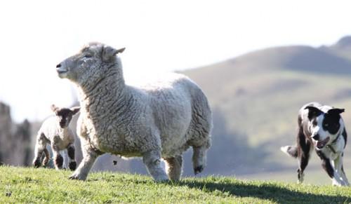 notizie animali, notizie divertenti, notizie strane, notizie commoventi, pecore, pecore nane, agnelli gemelli, Nuova Zelanda