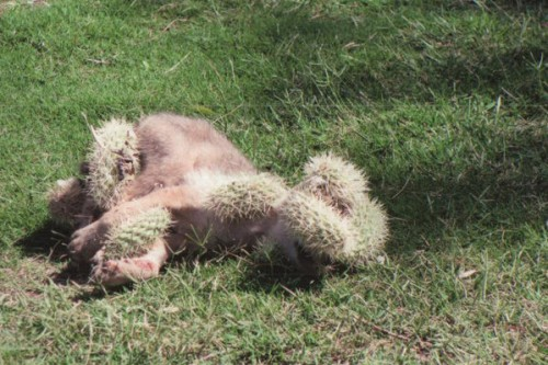 notizie animali, notizie divertenti, notizie strane, notizie commoventi, coyote, cucciolo di coyote, cactus