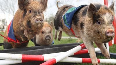 notizie animali, notizie divertenti, notizie strane, notizie commoventi, maialini in miniatura, mini maialini, mini porcellini, corsa a ostacoli per mini maialini