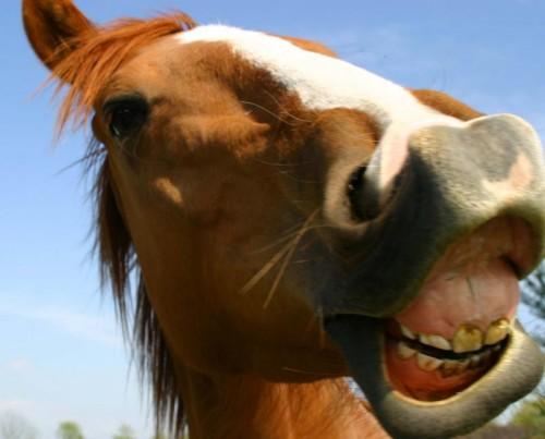 cavallo_nitrito2.jpg