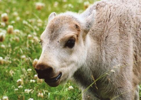 notizie animali, notizie divertenti, notizie strane, notizie commoventi, bufali, bufali bianco, cucciolo di bufalo bianco, riti sacri, nativi americani, Lakota Sioux