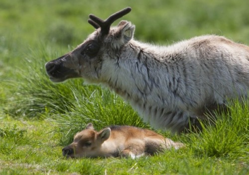 notizie animali, notizie divertenti, notizie strane, notizie commoventi, renne, cuccioli di renna, respirazione bocca a bocca ad animali, bacio della vita, Biancaneve, Principe Azzurro