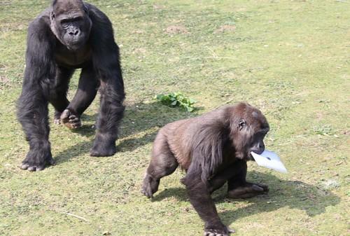 gorilla_ipad4.jpg