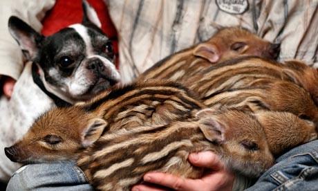 notizie animali, notizie divertenti, notizie strane, notizie commoventi, bulldog francese, cuccioli di cinghiale, bulldog adotta cucciolata di cinghiali