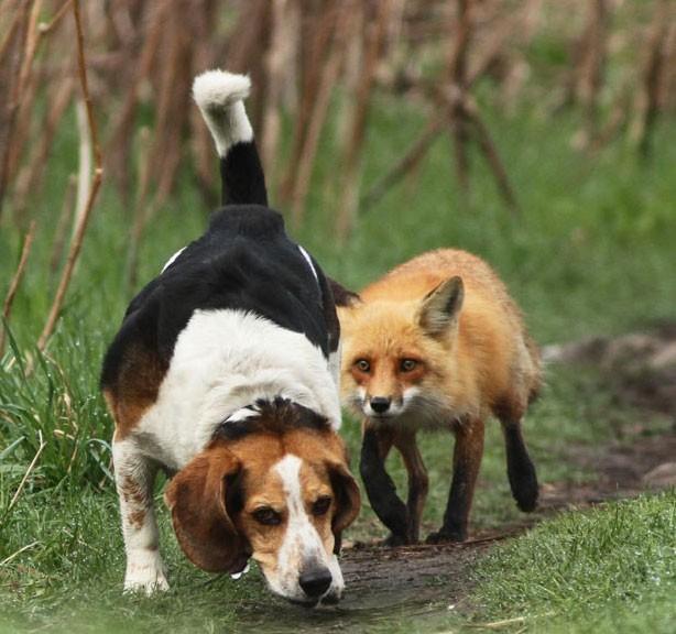 Un beagle è il peggior cane da caccia del mondo larresto del carlino
