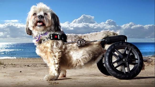 cane paralizzato corre di nuovo grazie a una mini sedia a On sedia a rotelle cane