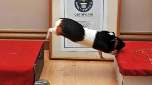 notizie divertenti, notizie strane, notizie commoventi, porcellini d'India, salto in lungo per porcellini d'India, Guinnes dei Primati