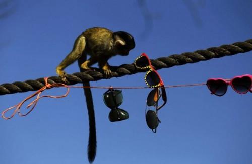 scimmie_occhiali4.jpg
