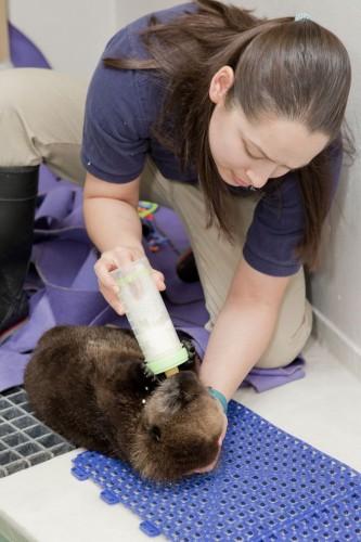 notizie animali, notizie divertenti, notizie strane, notizie commoventi, lontre, cuccili di lontra orfani, acquario adotta lontra
