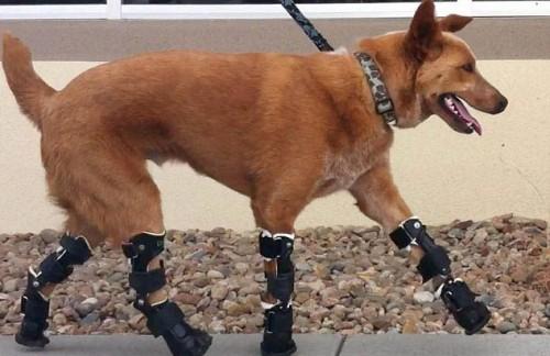 notizie animali, notizie divertenti, notizie strane, notizie commoventi, cani, Red Heeler cattle dog australiano, amputazione zampe cani, protesi ortopediche cani, protesi ortopediche animali, Orthopets