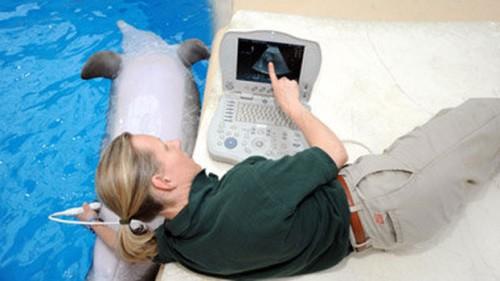 notizie animali, notizie divertenti, notizie strane, notizie commoventi, delfini, cetacei, ecografia animali, delfina incinta
