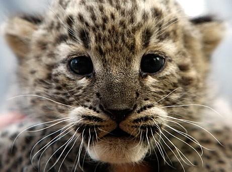 notizie animali, notizie divertenti, notizie strane, notizie commoventi, gatti, gattini, mici, micetti, cuccioli di gatto, leopardi, cuccioli di leopardo, felini, grandi felini, India