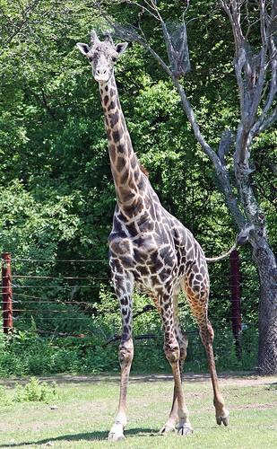 giraffa_pasticche1.jpg