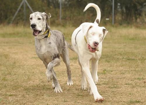notizie animali, notizie divertenti, notizie strane, notizie commoventi, alani, danesi, alano femmina cieca, cane-guida per cani