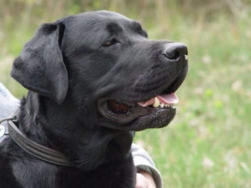 notizie animali, notizie divertenti, notizie strane, notizie commoventi, cani, Labrador, cani e matematica, cani e operazioni matematiche