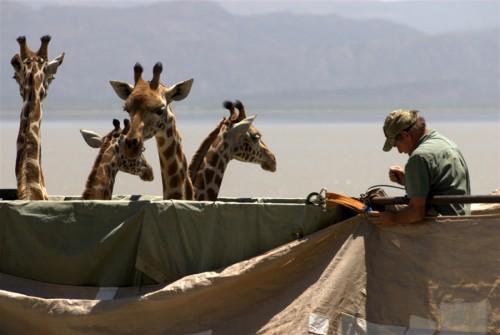 giraffe_arca2.jpg