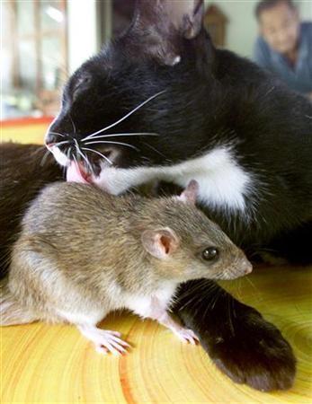 dal sito: Sei mesi fa un cinese che abita nella città di Jilin ha comprato un gatto, dopo qualche giorno un suo amico gli ha regalato un topolino. (ndate a vedere il seguito è molto carino) dans gatti 1148807212